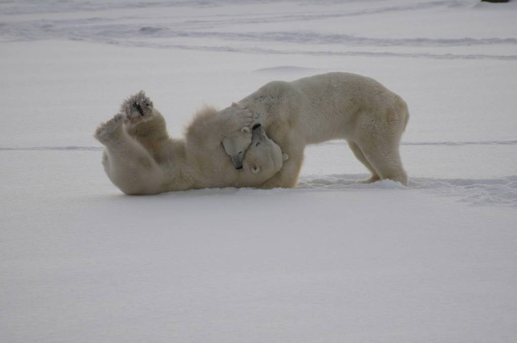 Polar bear watching in Churchill, Canada: Watching these hefty bears tumble, roll and somersault then stand up and give their sparring mate a good clip around the ears is magic.